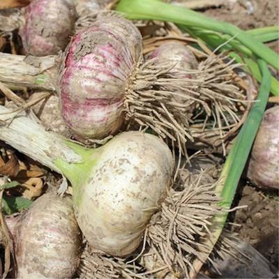 【5斤5斤!!】5斤新鲜现拔紫皮大蒜